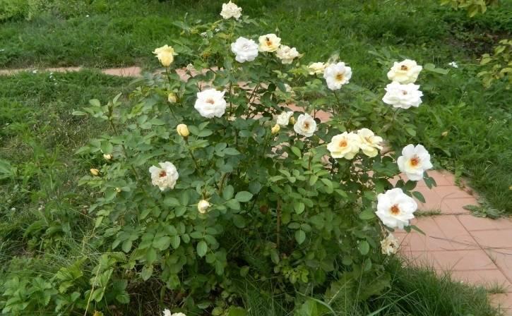 Kanadyjska odmiana róży parkowej J.P. Connell: uprawa samodzielnie ukorzenioną roślinę