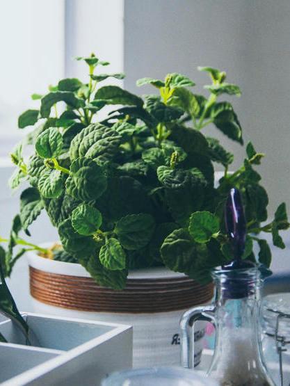 Mięta na parapecie: uprawa mięty w doniczce, jak sadzić i jak rosnąć