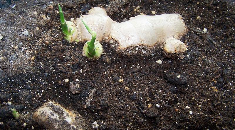 Imbir: rośnie w domu z bulw korzeniowych, jak sadzić imbir