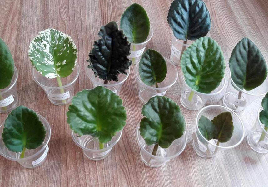 Jak rosną fiołki z liści w domu: w ziemi i wodzie