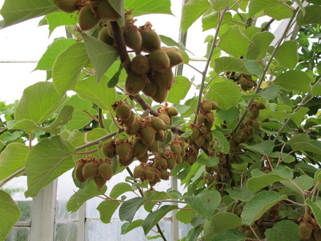 Jak uprawiać mango z nasion w domu - pocvetam.ru