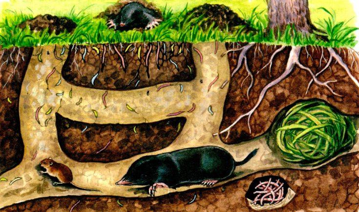 Kret: opis zwierzęcia, jak długo żyje, co je, gatunek
