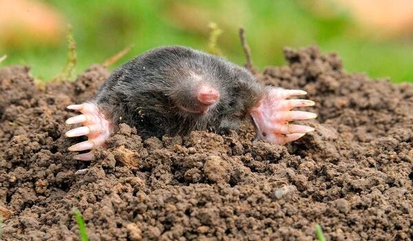 Zdjęcie: kret zwierzęcy glebowy