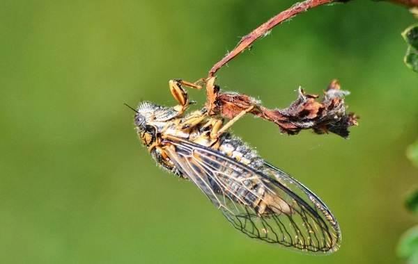 Owad-cykada-opis-cechy-gatunek-styl życia-i-siedlisko-cykady-2