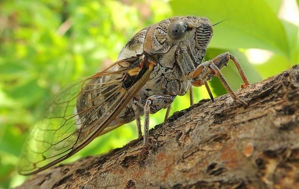 Owad cykada-opis-cechy-gatunek-styl życia-i-siedlisko-cykady-3