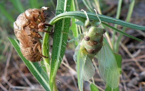 Owad cykada-opis-cechy-gatunek-styl życia-i-siedlisko-cykady-15