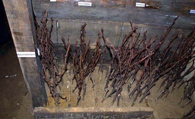 Jak sadzić winogrona z sadzonkami