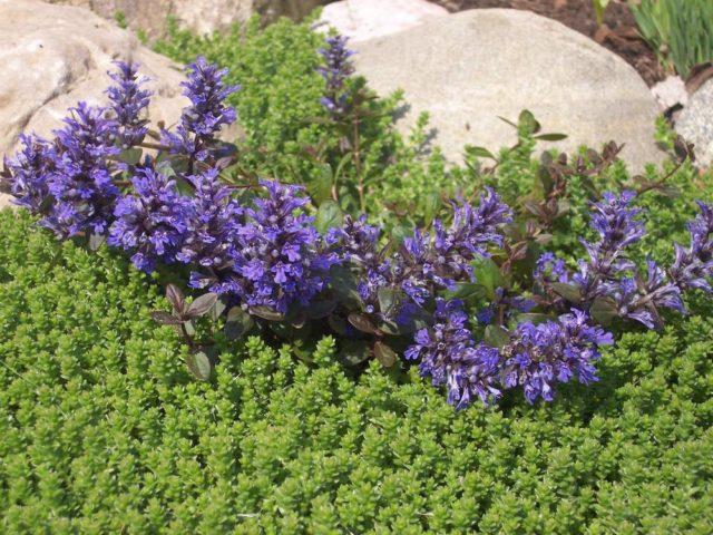 Wytrwałe pełzanie (Ayuga): właściwości lecznicze zioła, opis, zastosowanie