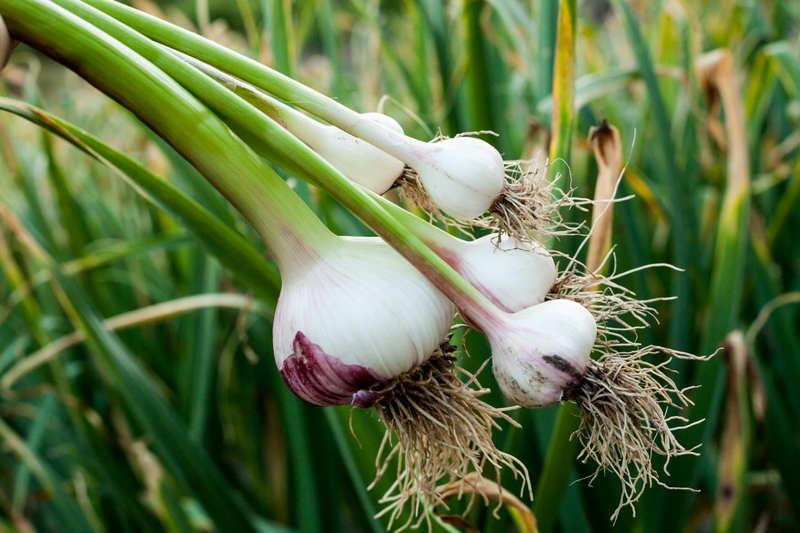 Czy w tym samym ogrodzie można sadzić cebulę i czosnek