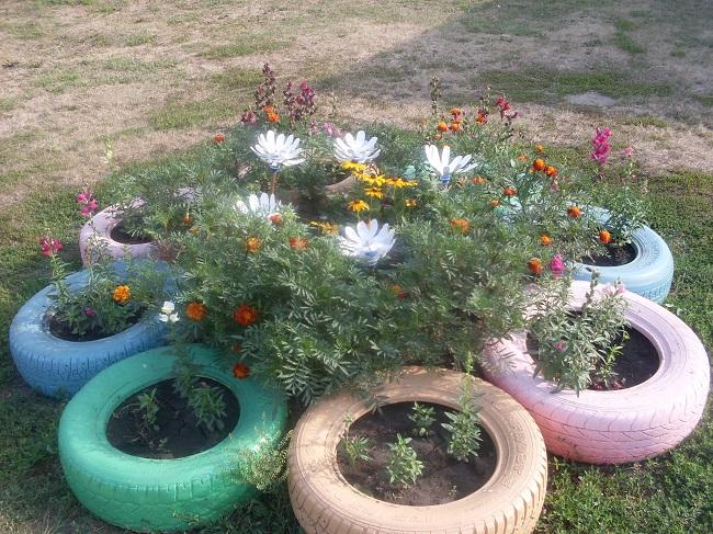rumianek ogrodowy z opon