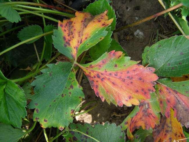 Brązowa plama na liściach truskawek ogrodowych