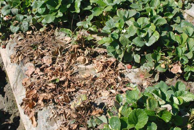 Fusarium więdnięcie truskawek