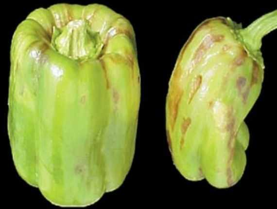 Oznaki choroby smugowej na owocach pieprzu