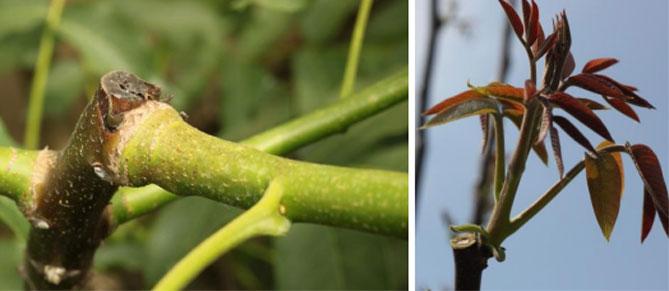 Orzech - sadzenie i pielęgnacja, jak prawidłowo sadzić, przycinać, nawozić