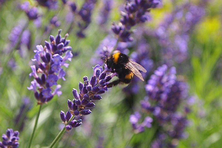 Lawenda: sadzenie i pielęgnacja na zewnątrz