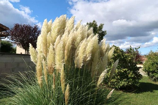 Trawa pampasowa - sadzenie i pielęgnacja na zewnątrz