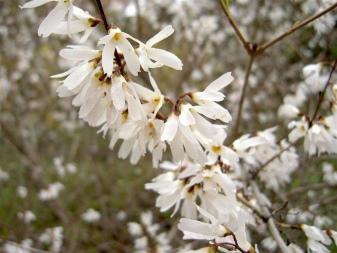 Forsycja: opis gatunków i odmian krzewów, zasady uprawy