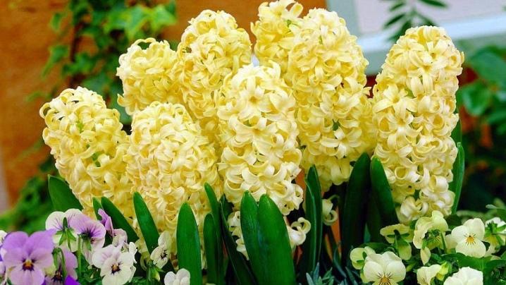 Hiacynt: opis i odmiany, sadzenie i pielęgnacja