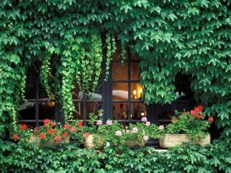 Bluszcz ogrodowy: cechy, sadzenie i pielęgnacja