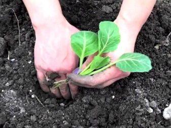 Dlaczego brokuły miały kwiaty i co zrobić, aby ich uniknąć?