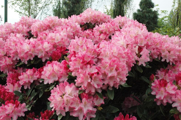 Warunki i zasady sadzenia rododendronów na otwartym terenie