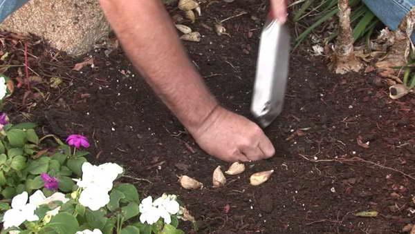 Jak i kiedy sadzić frezję na zewnątrz na wiosnę?