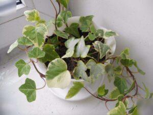 Kwiat hedery. Jak rosnąć i dbać. Przydatna nieruchomość.