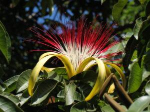 Kwiat Pakhira. Jak rosnąć i dbać.