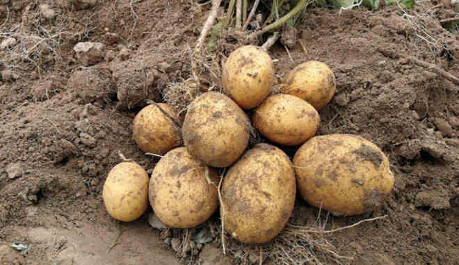 Zbieranie ziemniaków Christel